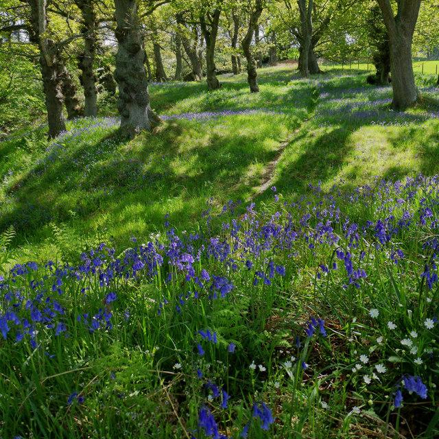 Bluebells in Drummondreach Oak Wood