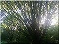 TQ2187 : Tree in Woodfield Park, Kingsbury by David Howard