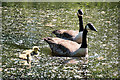 SD9900 : Geese and Goslings at Carrbrook by David Dixon