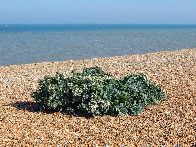 Sea Kale on Deal Beach