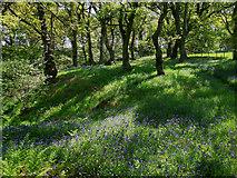 NH5857 : The floor of Drummondreach Oak Wood in Spring by Julian Paren