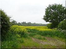 SJ5308 : Oilseed rape crop, Atcham by JThomas