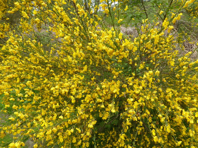 Broom beside part of the Shropshire Way on Sunnyhill below Bury Ditches
