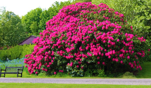 Rhododendron at Hill of Tarvit