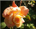 SX9065 : Rose, Torre by Derek Harper