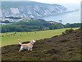 SZ3185 : On Headon Warren, Isle of Wight by Robin Drayton