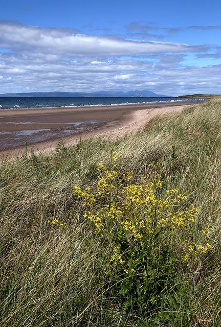 Marram grass at Turnberry Bay