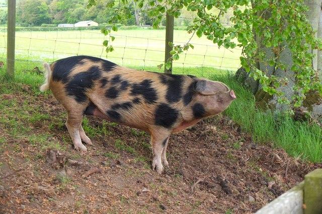 Friendly pig near Kirksyde