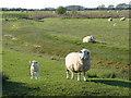 TQ9626 : Romney sheep and lamb by Marathon