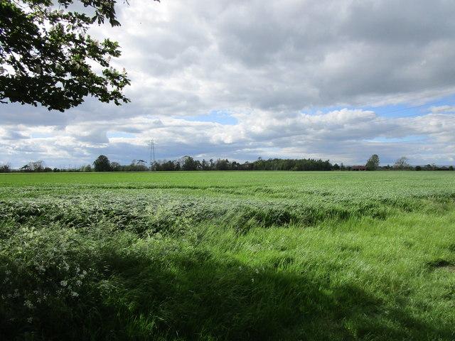 Wheat field, Broughton Moor