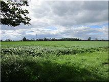 SE7674 : Wheat field, Broughton Moor by Jonathan Thacker