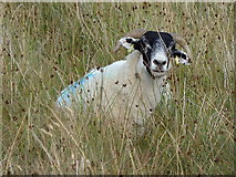 NY7869 : Philosophical sheep near Broomlee Lough by Rudi Winter