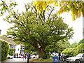 SJ8969 : Gawsworth Hall - yew tree by Stephen Craven