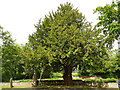 SJ8969 : Gawsworth St James - notable yew tree by Stephen Craven