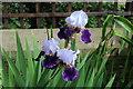 SH8378 : Flag iris (Iris versicolor) by Richard Hoare