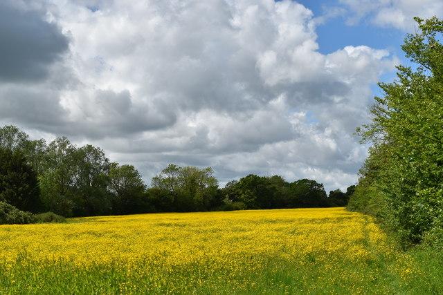 Buttercup meadow near Redhouse Farm