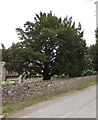 SO5219 : Tree at the edge of the village churchyard, Llangrove, Herefordshire  by Jaggery