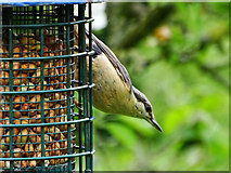 SO4465 : Nuthatch, Croft Castle and Parkland, Yarpole, Leominster by Brian Robert Marshall