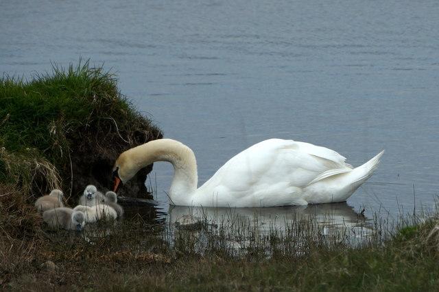 Swan and cygnets, Uyeasound