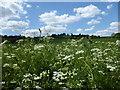 TQ5263 : Cow parsley near Castle Farm by Marathon