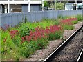 SK5904 : Valerian growing on a disused siding by Ian Calderwood