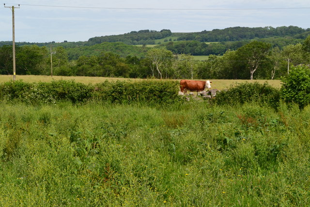 Cow glimpsed through hedge at Tor Farm