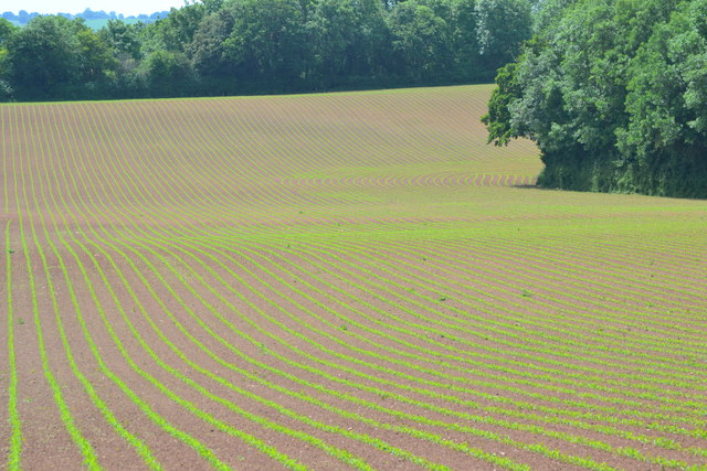 New crops rows near Park Wood