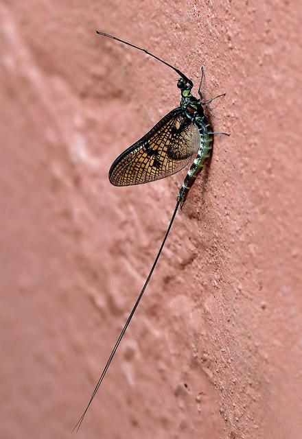A Mayfly (Ephemera vulgata)