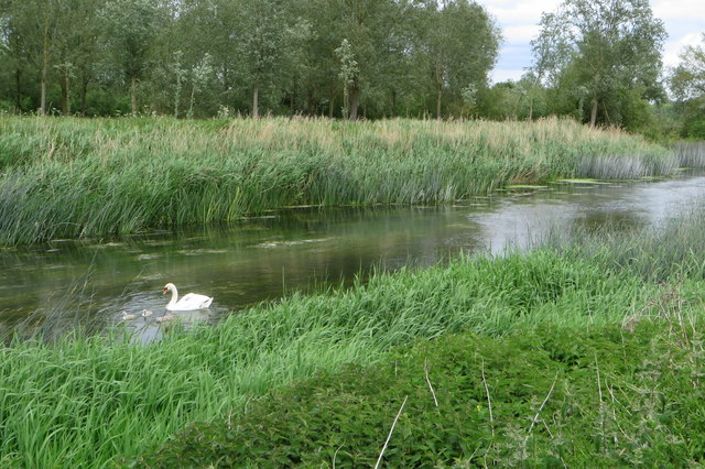 Swan and offspring on the Great Ouse