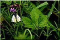 H5060 : Large white butterfly by Kenneth  Allen