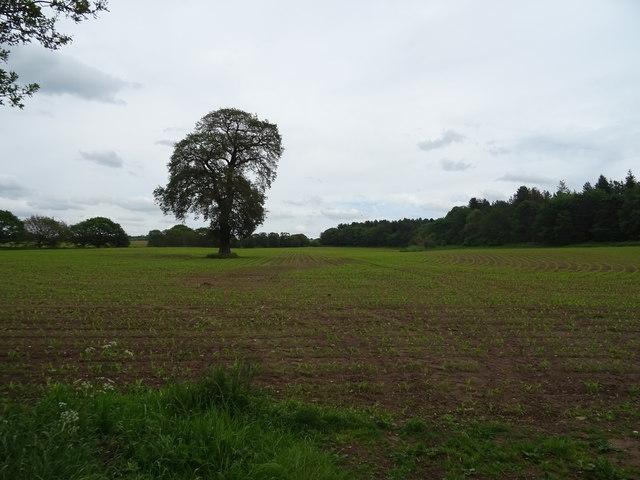 Tree in crop field