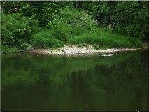 SJ6603 : Ducks at the River Severn (Ironbridge) by Fabian Musto