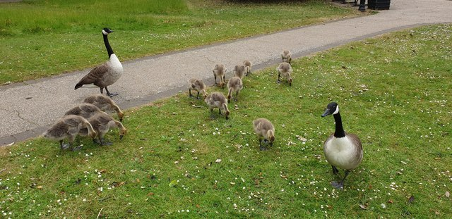 Canada Geese and Goslings, Enfield