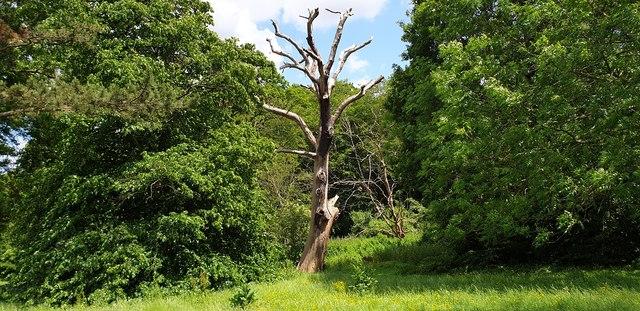 Dead Tree in Grovelands Park, London N21