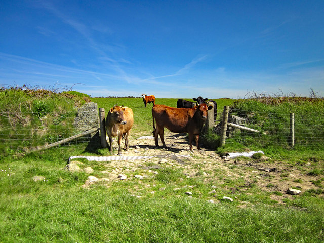 Cattle at Porthwen, Anglesey