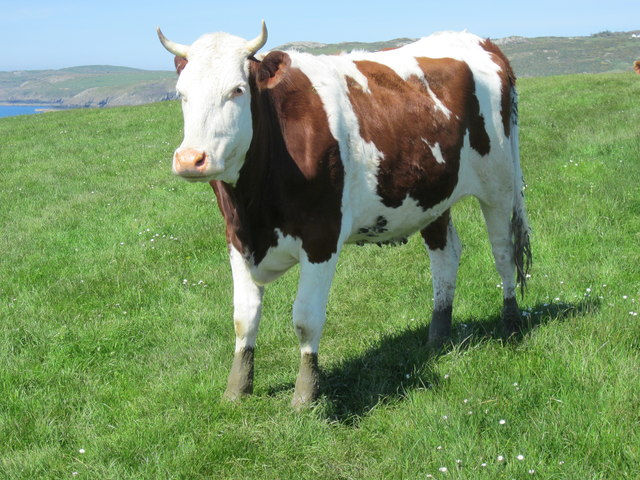 Bovine creature near the path at Porthwen, Anglesey