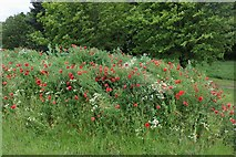SP8534 : Poppies by Standing Way, Bletchley by David Howard