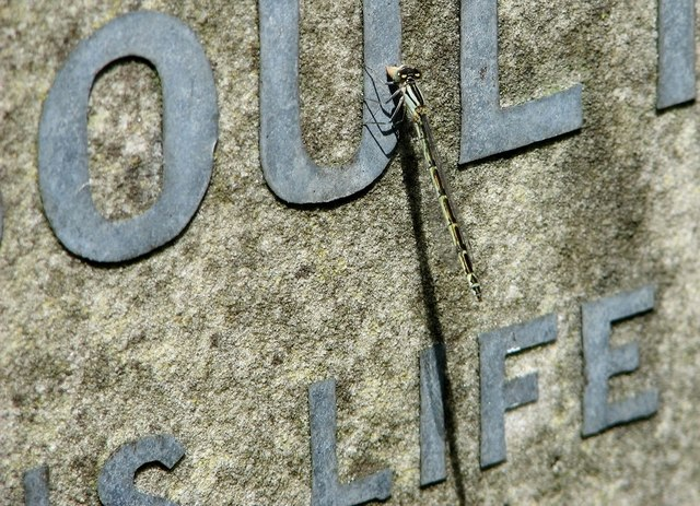 A damselfly and its shadow