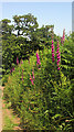 SX8854 : Foxgloves, Combe Lane by Derek Harper