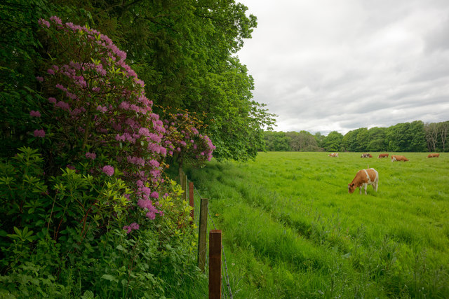 Cattle in the field by Cromarty House