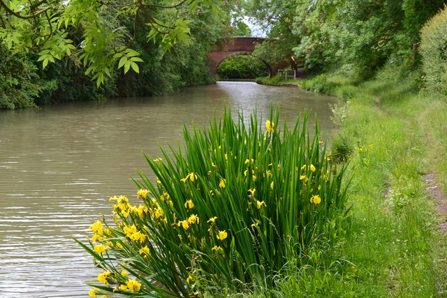 Yellow irises on the Grand Union Canal bank