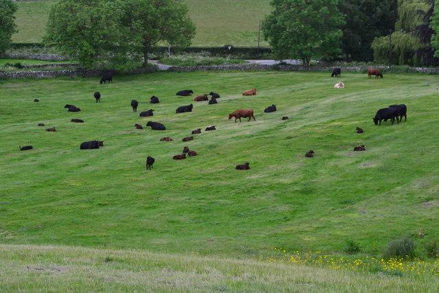 Cattle in field beside Longstone Lane