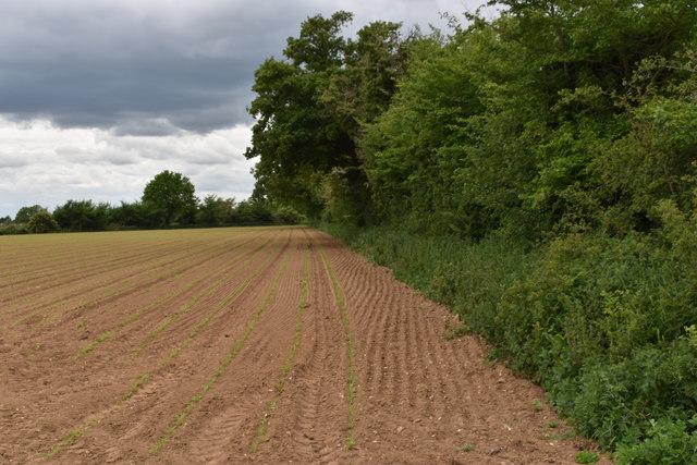 Newly-emerging maize crop, Cracks Lane