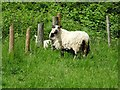 SO7538 : Sheep and lamb by Philip Halling