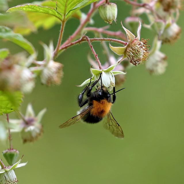 A Tree Bumblebee (Bombus hyporum) collecting pollen in my garden