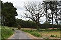 TM3552 : Dead oak tree in a pine shelter belt near Wantisden Hall by Simon Mortimer