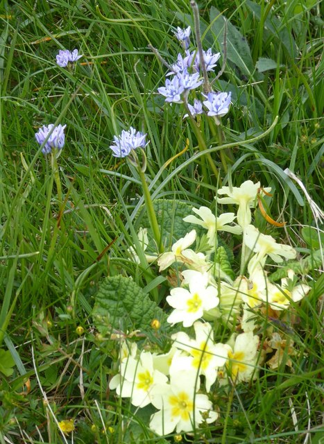 Spring Squill and Primrose