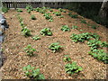 TQ2983 : Yacon plantation in Alara Permaculture Forest Garden by David Hawgood