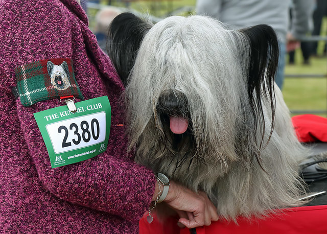 A Skye terrier at the 2019 Kelso Dog Show