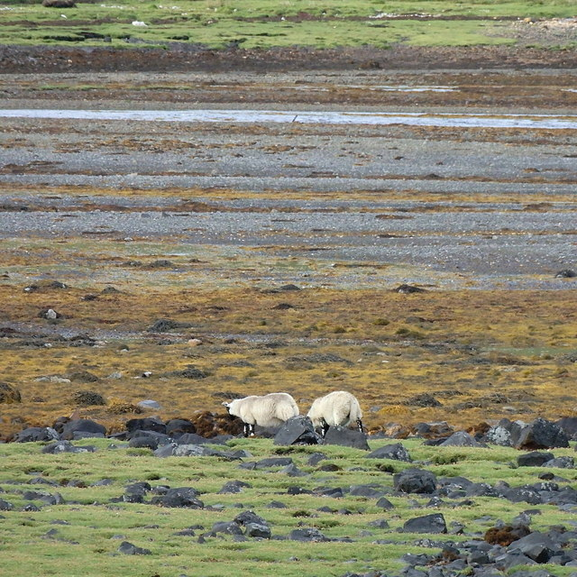 Sheep grazing in the salt marsh on Loch Slapin